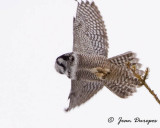 Northern Hawk Owl leaving perch