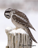 Northern Hawk Owl Prayer