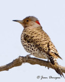 Northern Flicker, Yellow-shafted