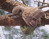 Great Horned Owlet - RIP