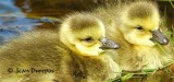Two gorgeous chicks  recently arrived in the community.......