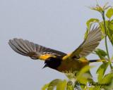 Baltimore Oriole in flight