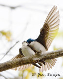 Tree Swallows  mating ritual