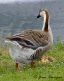 Chinese Goose and chicks