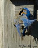 Eastern Bluebirds in action