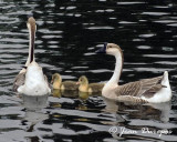 Chinese Geese and chicks