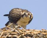 Curious Osprey juvenile