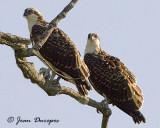 Osprey juveniles
