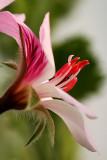 Close up with a Geranium flower