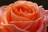 Layers of rose petals