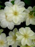 Clematis, Gurnsey Cream