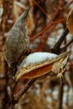 Milkweed seedheads
