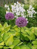 Alliums & Hosta