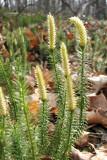 Lycopodium (Club Moss)