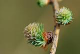 Larch tree budding out