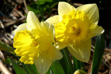 Cheerful Daffodils