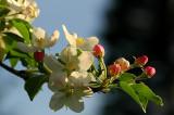 Apple & Crabapple Blossoms