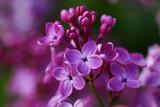Lilac 'Pocahontas'