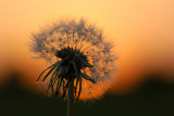 'Pusteblume' aka Dandelion