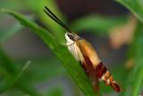 Hummingbird Moth at rest