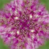 Allium 6.jpg