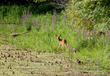 Petit Bambi