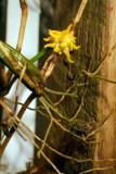 Bulbophyllum  Odoratissium flower clump