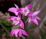 Den. kingianum