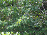 Can you see the monkey in the mangroves?