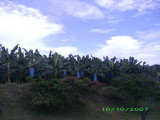 Banana tress -- banana bunches are protected from insects with blue bags