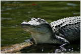 louisiana-gator-4.jpg