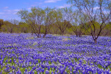 Lake of Bluebonnets