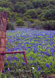 Bluebonnet Cattle Guard Crossing