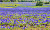 Pasture of Bluebonnets