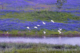 Egrets and Bluebonnets