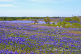 Flowing Bluebonnets