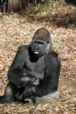gorilla tongue.jpg