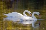 Sept. 23, 2007 - Swans by morning sunlight