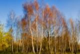 Birch Spirit
