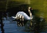Striped Swan
