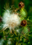 Late Summer Thistle