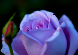 Violet Purple Rose