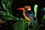 pigmy kingfisher Large.JPG