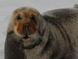 Seals  and Walrusses of Spitsbergen