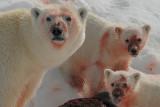 Polar Bear - IJsbeer