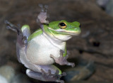 Frog on glass