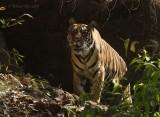 Late morning Bandhavgarh Tiger 2005.jpg