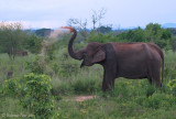 Elephant dusting.jpg