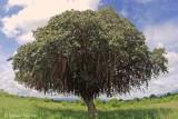 Tree with Langurs.jpg