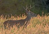 Choke Canyon Buck.jpg